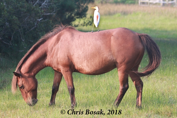 Photo by Chris Bosak  Wild ponies at Assateague Island National Seashore, Maryland, summer 2018.