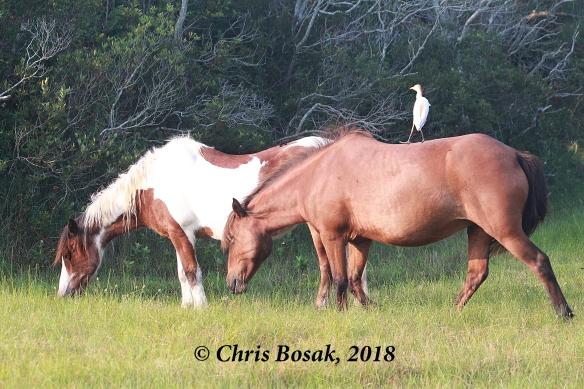 Photo by Chris Bosak Wild ponies at Assateague Island National Seashore, Maryland, summer 2018.