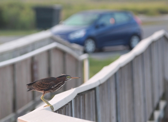 Photo by Chris Bosak  A green heron on a railing of a walkway at Assateague Island, Maryland.