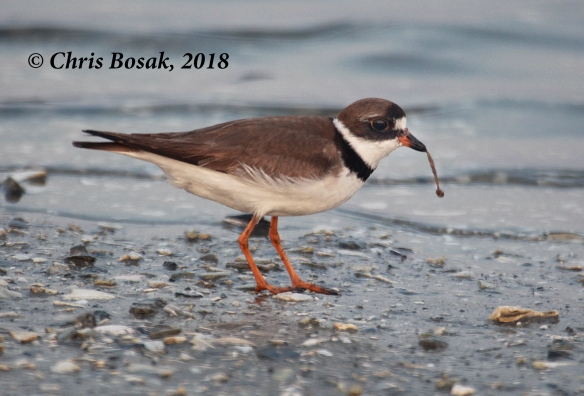 Photo by Chris Bosak  A semi-palmated plover looks for food at Assateague Island National Seashore, Maryland, summer 2018.