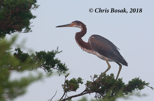 Photo by Chris Bosak  A tri-colored heron at Assateauge Island National Seashore, Maryland, summer 2018.