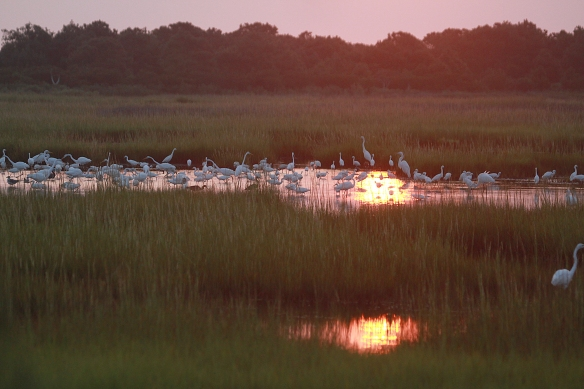 Photo by Chris Bosak  Waders gather at a pool of water in the marshlands of Assateague Island National Seashore in Maryland, summer 2018.