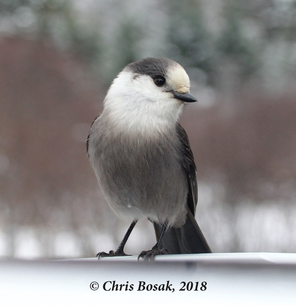 Photo by Chris Bosak  A gray jay perches on the roof of a car in Pittsburg, N.H., November 2018.