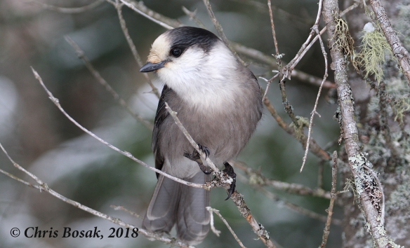 Photo by Chris Bosak  A gray jay perches in a tree in Pittsburg, N.H., November 2018.