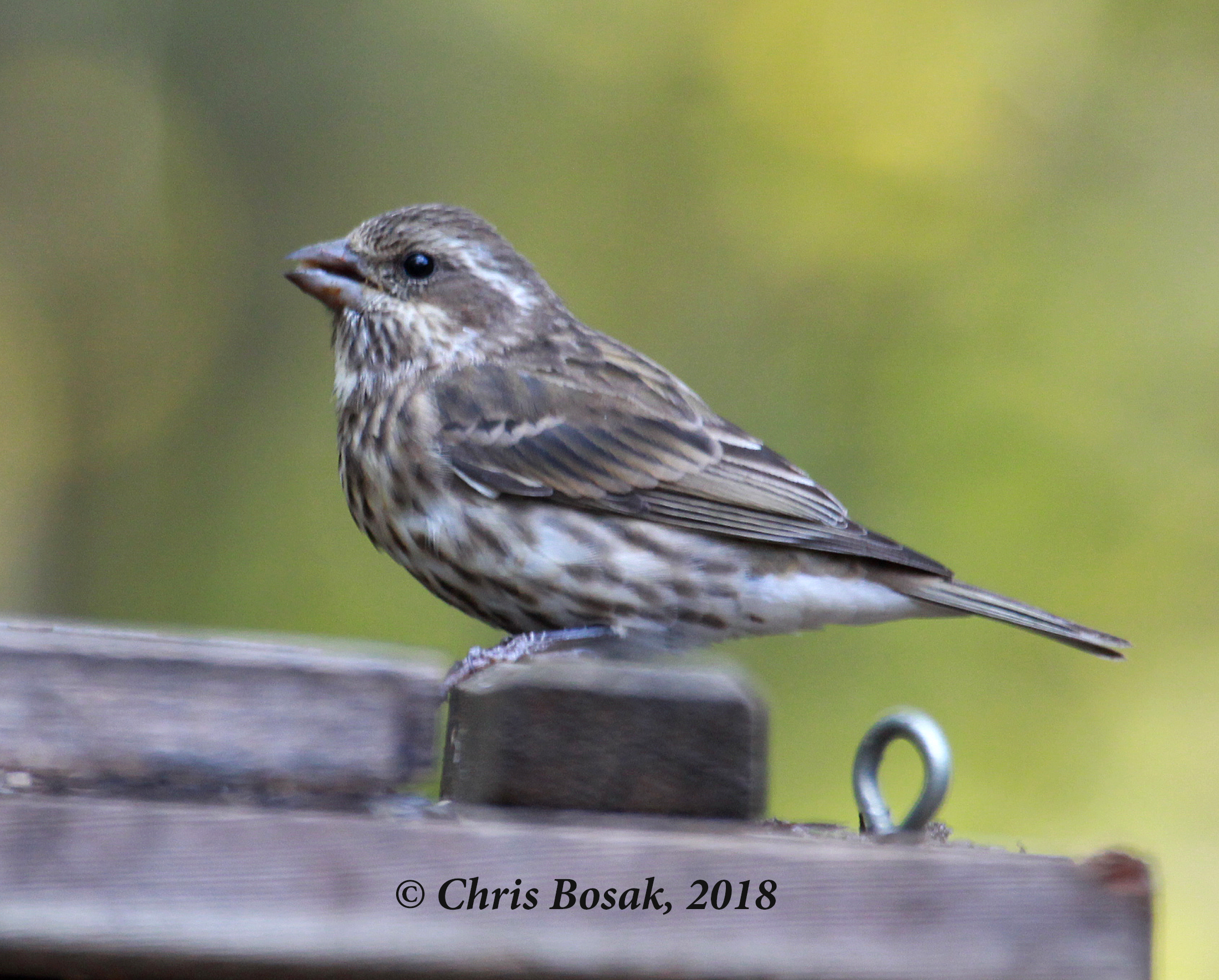 Photo by Chris Bosak A purple finch eats seeds at a feeder in New England, Nov. 2018.