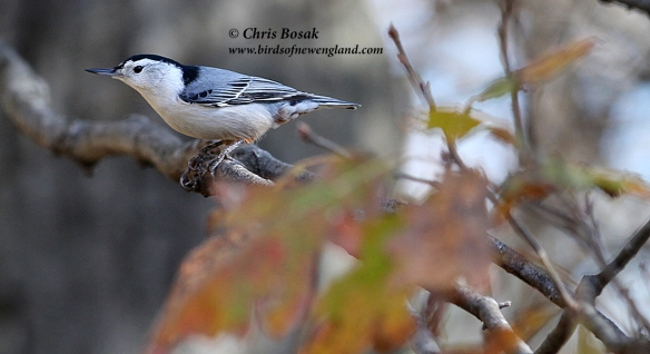 This image has an empty alt attribute; its file name is nuthatch5c.jpg