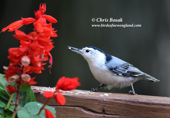 This image has an empty alt attribute; its file name is wb-nuthatch1c.jpg
